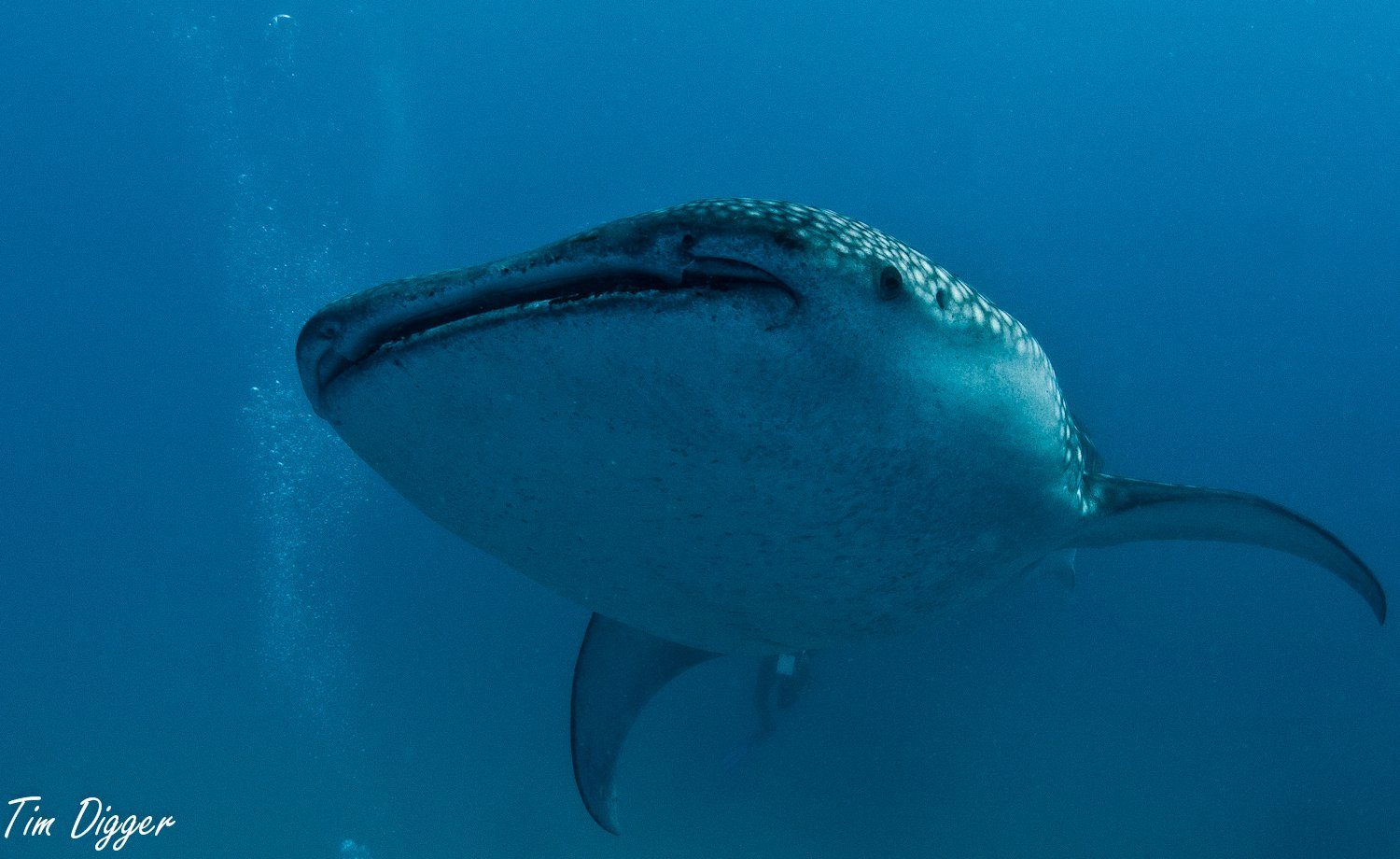 Whale Shark at Tana-wan. Oslob by Tim Digger