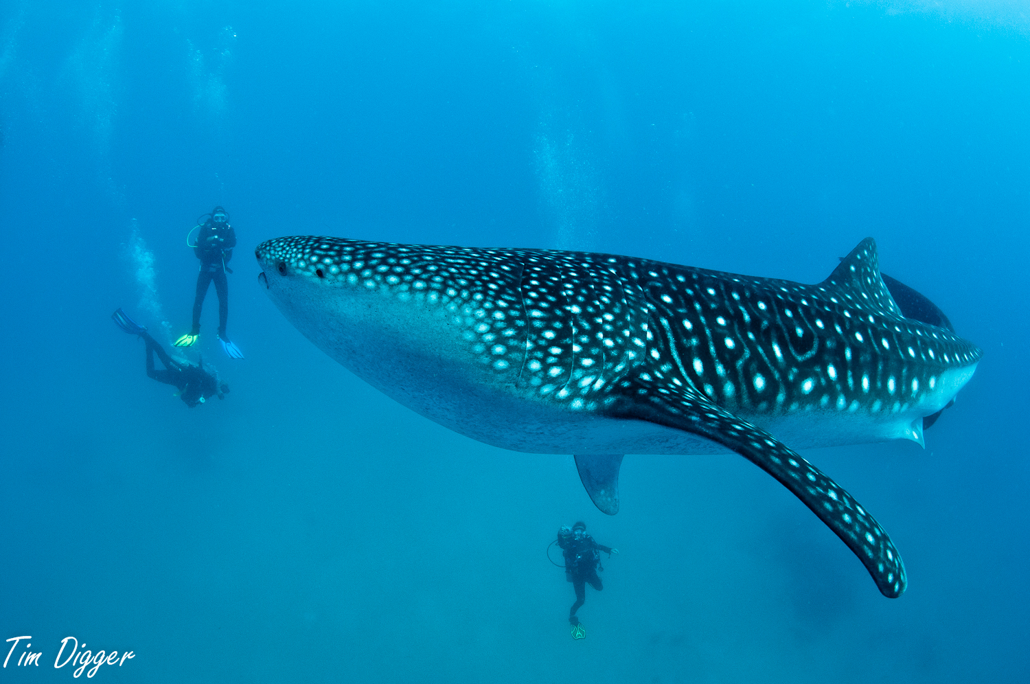 Diver with whale shark at Oslob