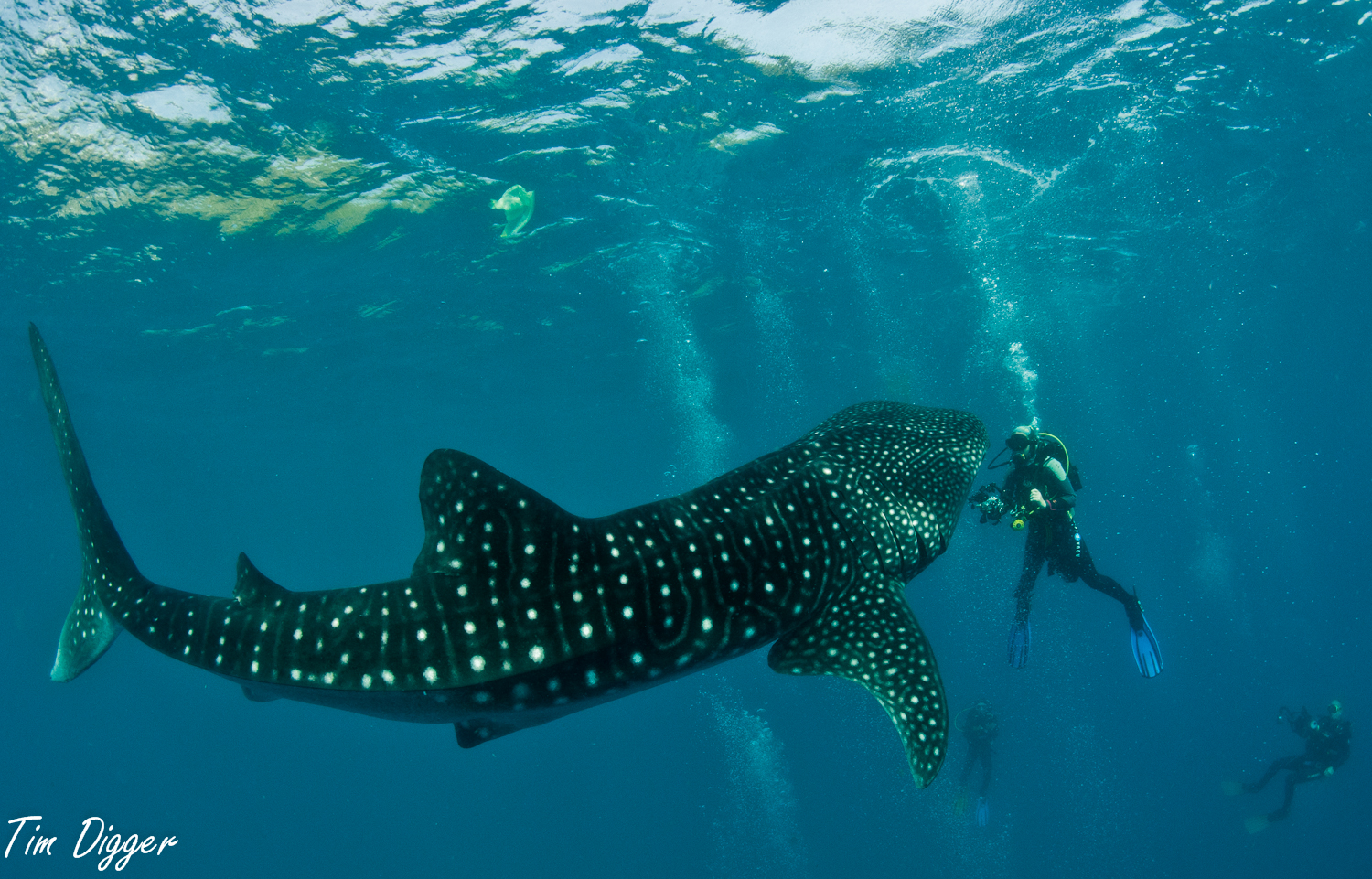 Whale shark at Tana-wan, Oslob by Tim Digger