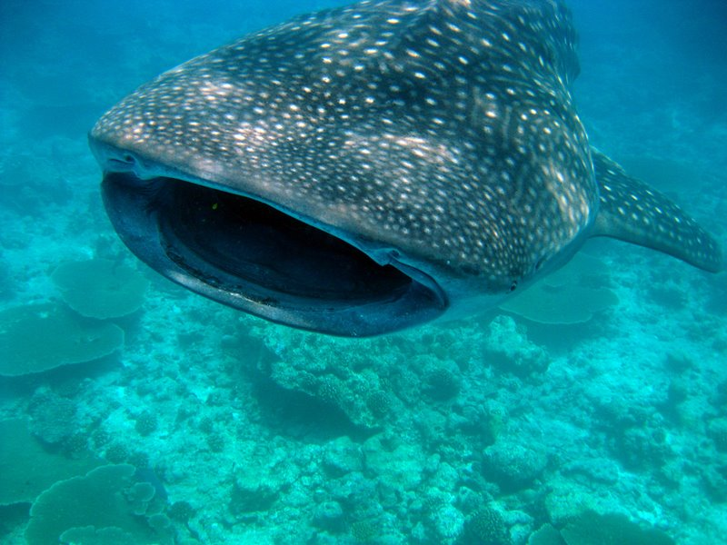 whale shark seen on excursion from Turtle Bay Dive Resort
