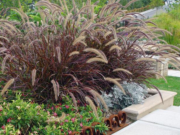 Purple fountain grass for Tall purple ornamental grass