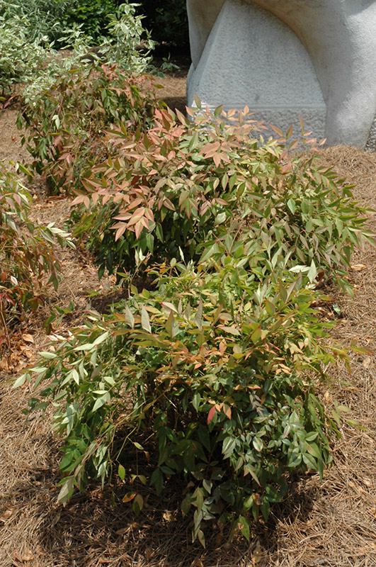 Landscaping With Dwarf Bamboo : Compact nandina