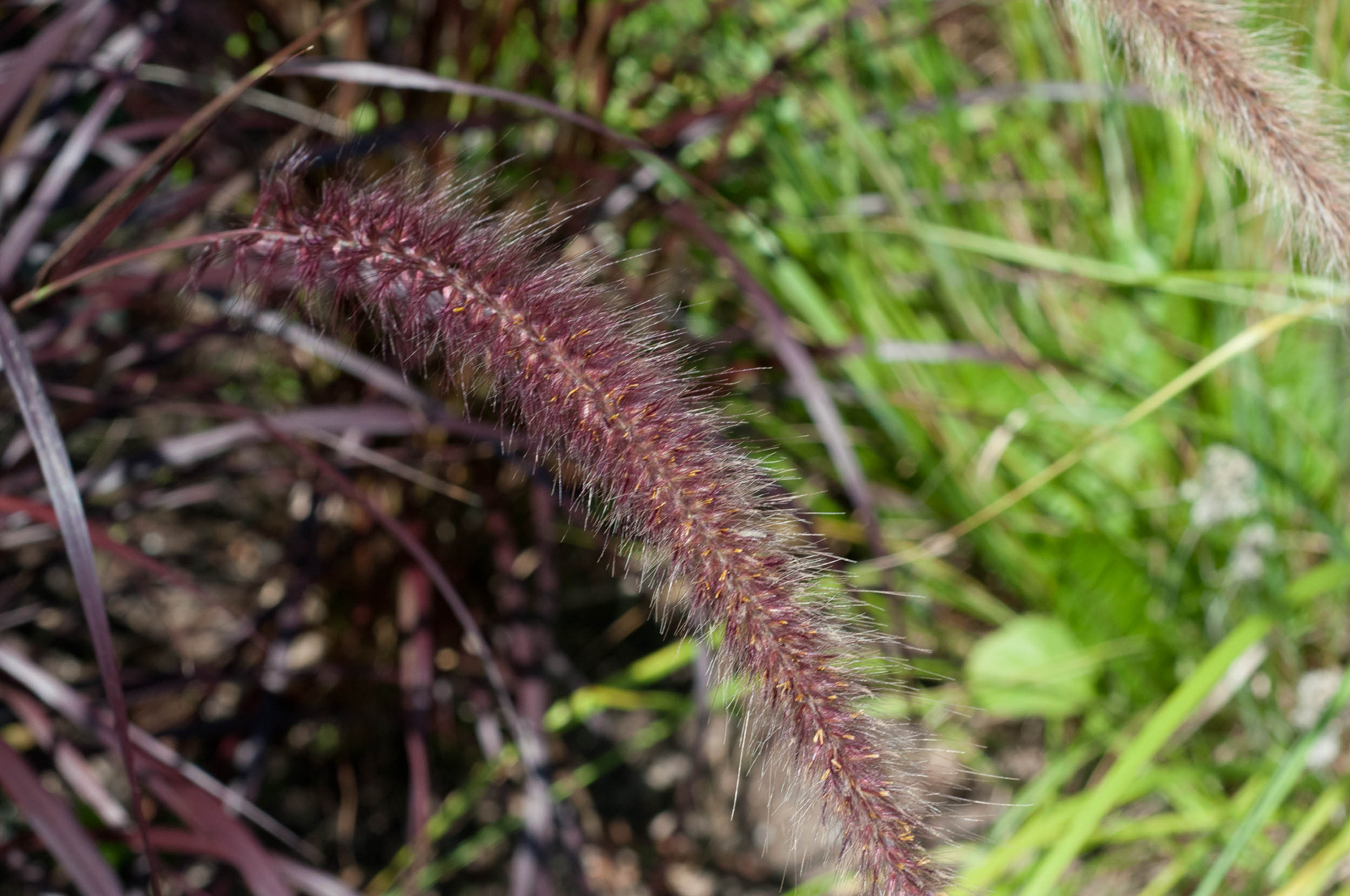 Purple fountain grass for Hardy fountain grass