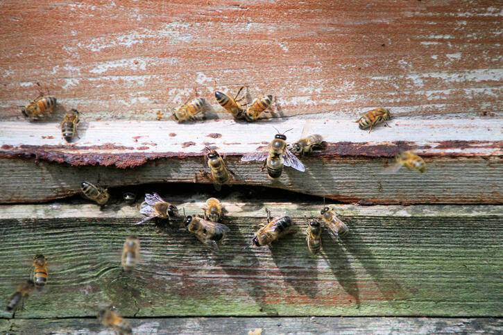 Bees buzzing around a hive