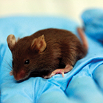 Lab_mouse_hand