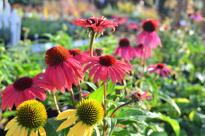 Perennials For Sun and Drought