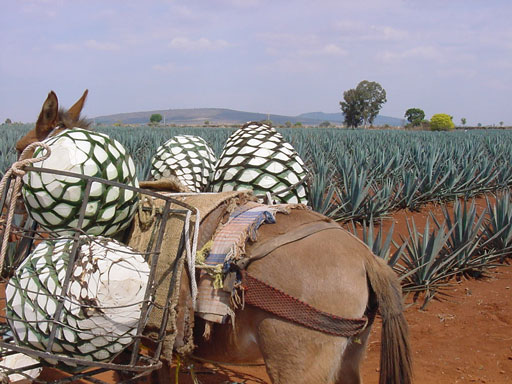Teach-Abroad-Mexico-Tequila-Tour