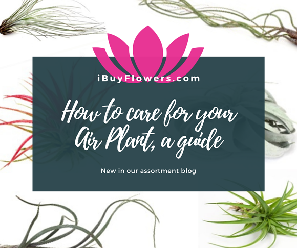 How to care for your Air Plant, a guide and explanation!