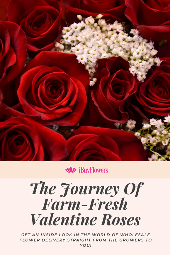 The journey of your farm-fresh wholesale Valentine roses!
