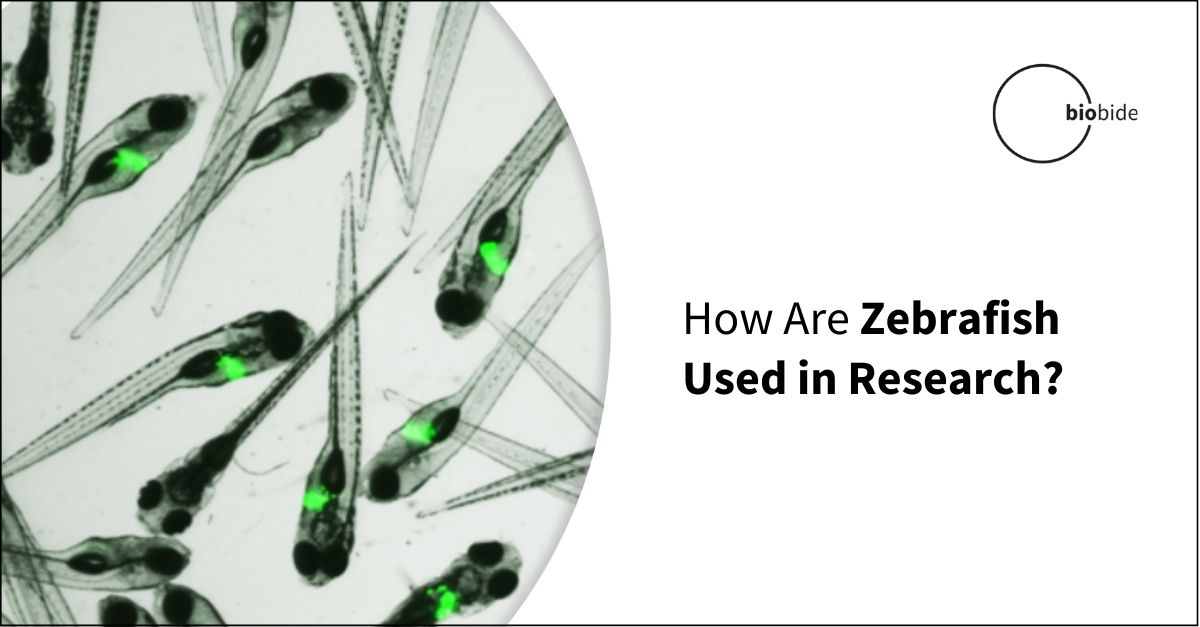 Zebrafish Research: Everything You Need to Know