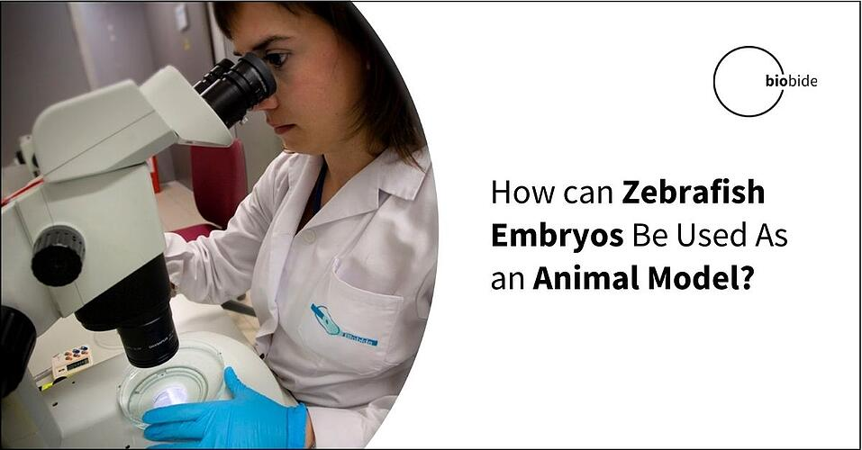 How can Zebrafish Embryos Be Used As an Animal Model