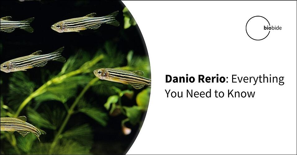 Danio Rerio: Everything You Need to Know