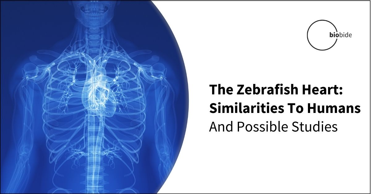 The Zebrafish Heart: Similarities To Humans And Possible Studies
