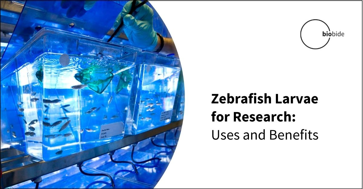 Zebrafish Larvae for Research: Uses and Benefits