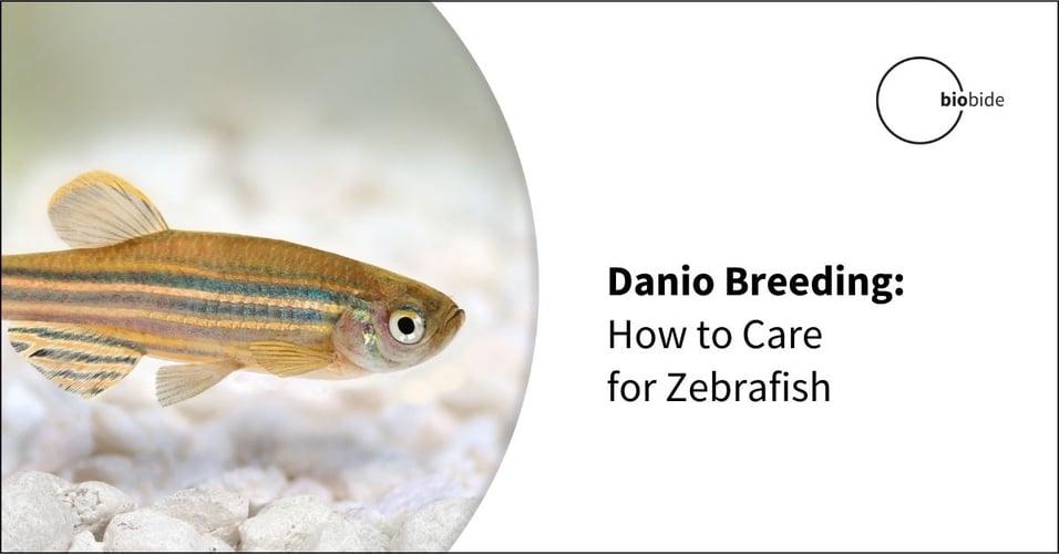 Danio Breeding: How to Care for Zebrafish