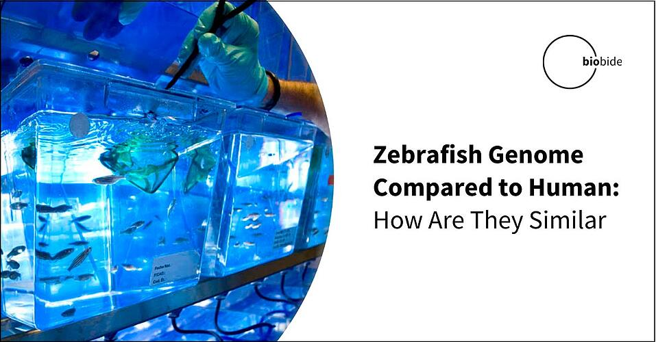 Zebrafish Genome Compared to Human: How Are They Similar