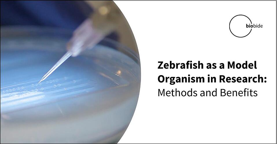 Zebrafish as a Model Organism in Research: Methods and Benefits