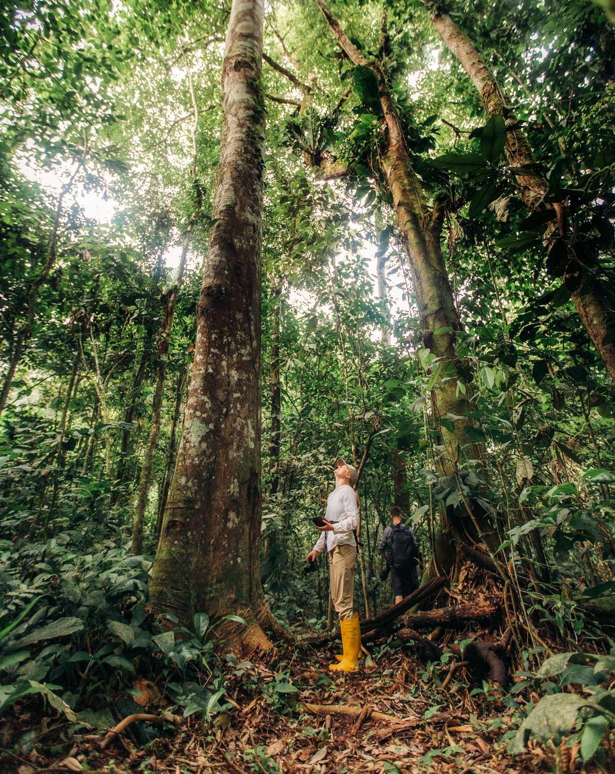 Kapoc Tree Looking Up