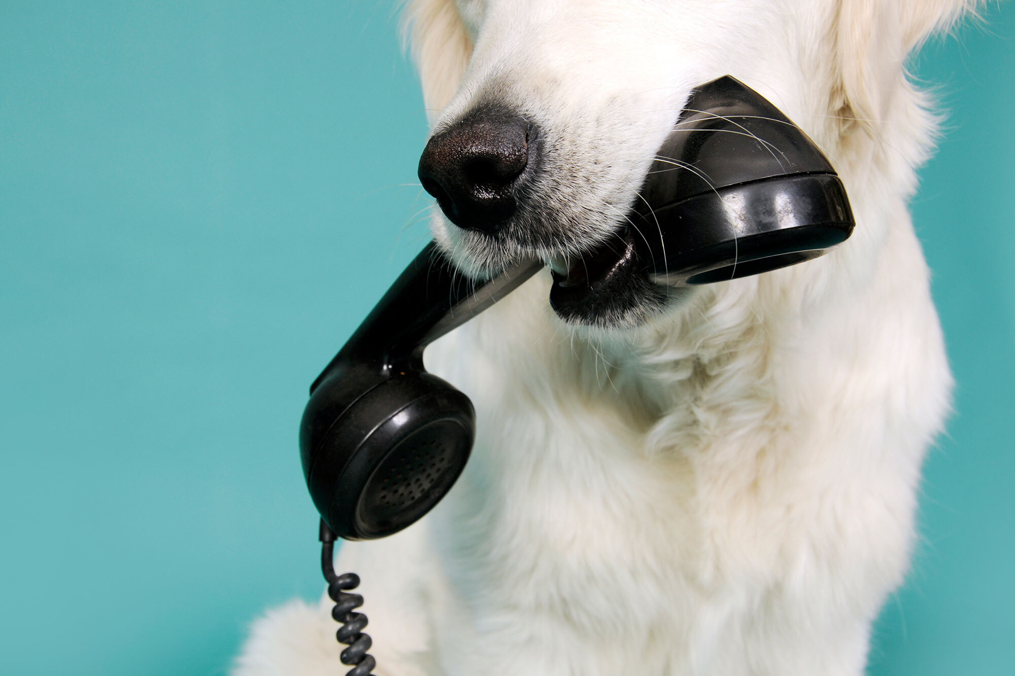 white dog holding a black phone in mouth